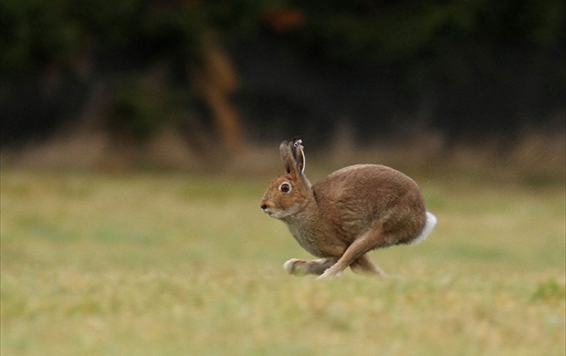 hare-620