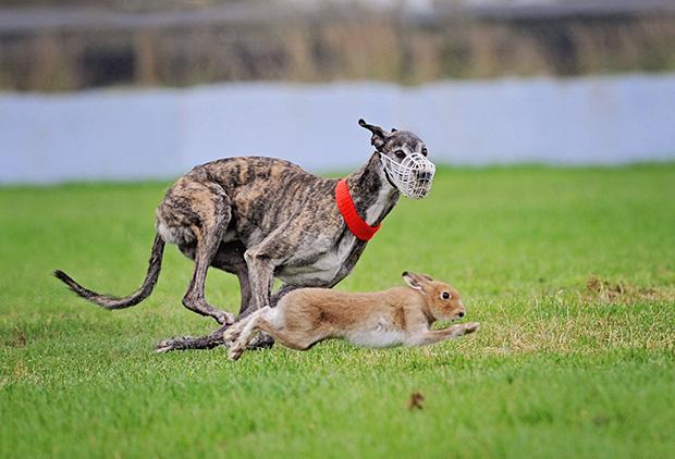 hare-greyhound-620