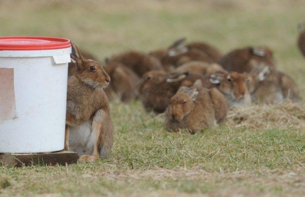 Hare Photo 2a